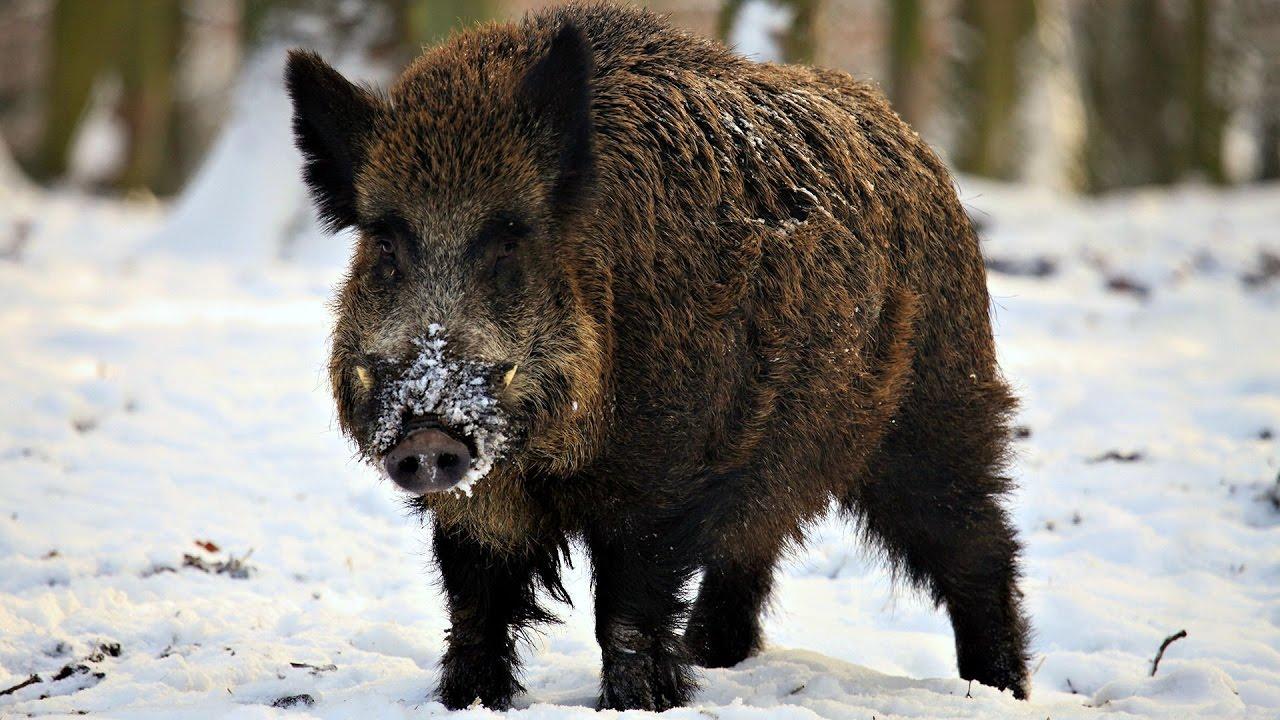 охота на кабанов зимой
